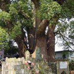十五社的樟樹