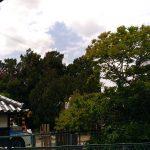栄福寺 伊吹柏槙的大樹名木