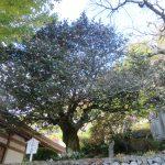 山茶花的老樹