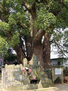 十五社の樟樹