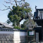 常行寺の柏槙