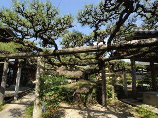 光明寺の松