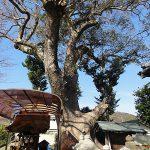 丹生神社の樟樹